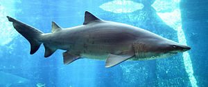 Carcharias_taurus_in_UShaka_Sea_World_1079-a[1]